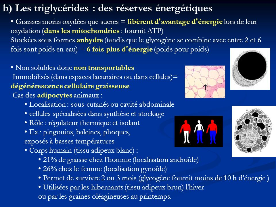 b) Les triglycérides : des réserves énergétiques