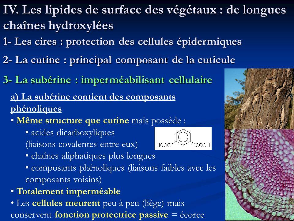 IV. Les lipides de surface des végétaux : de longues chaînes hydroxylées