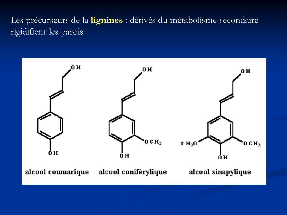 Les précurseurs de la lignines : dérivés du métabolisme secondaire rigidifient les parois