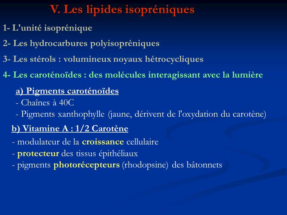 V. Les lipides isopréniques