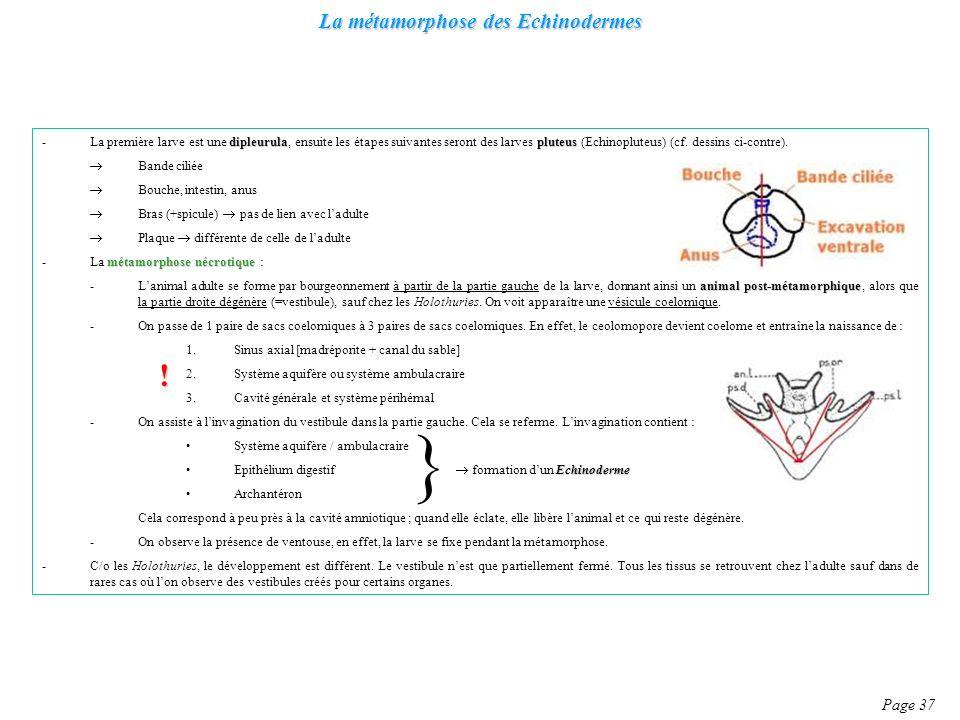 La métamorphose des Echinodermes