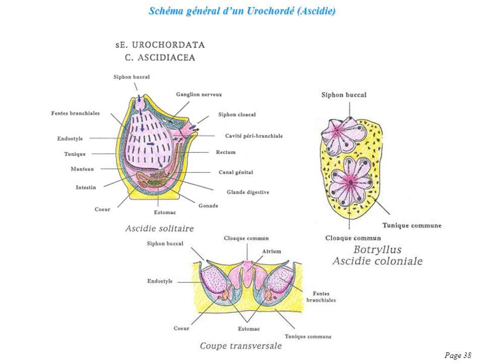 Schéma général d'un Urochordé (Ascidie)