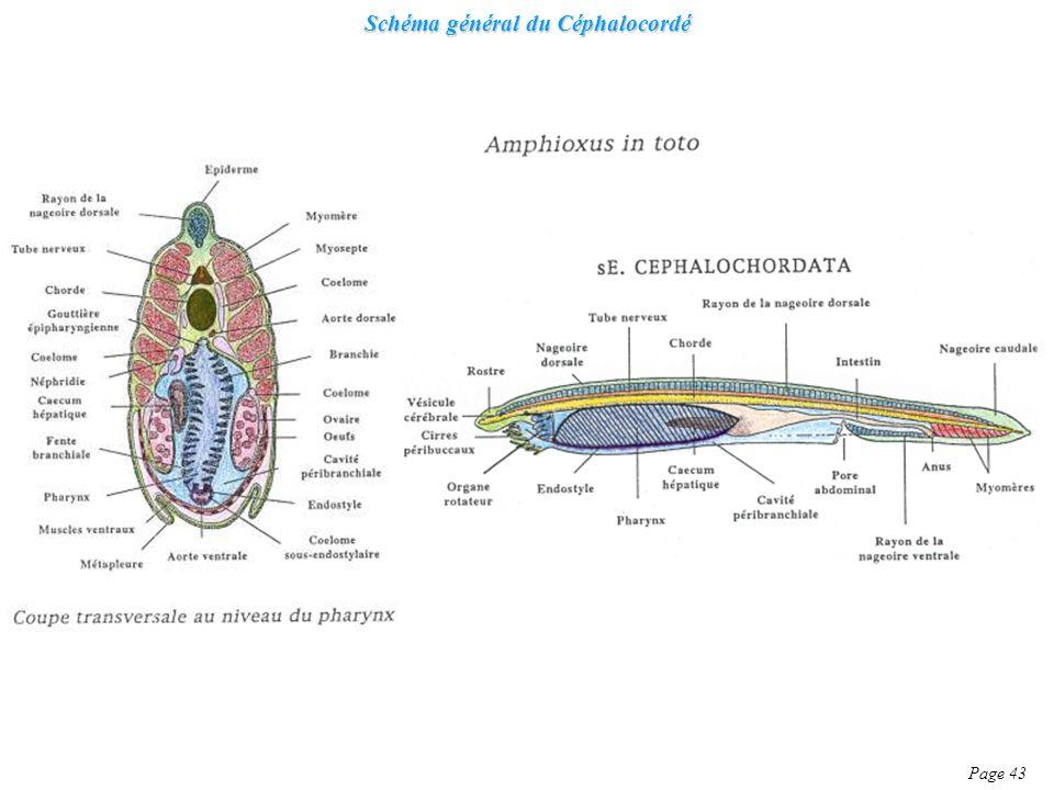 Schéma général du Céphalocordé