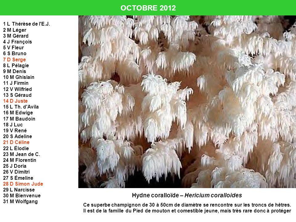 Hydne coralloïde – Hericium coralloides