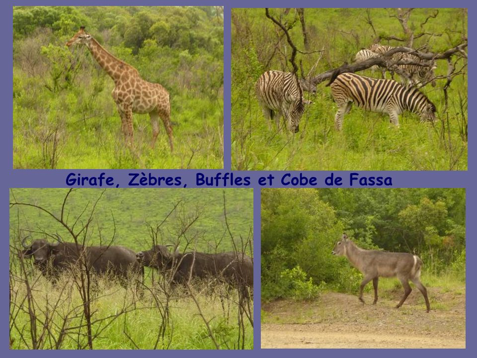 Girafe, Zèbres, Buffles et Cobe de Fassa