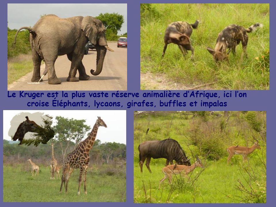 Le Kruger est la plus vaste réserve animalière d'Afrique, ici l'on croise Éléphants, lycaons, girafes, buffles et impalas