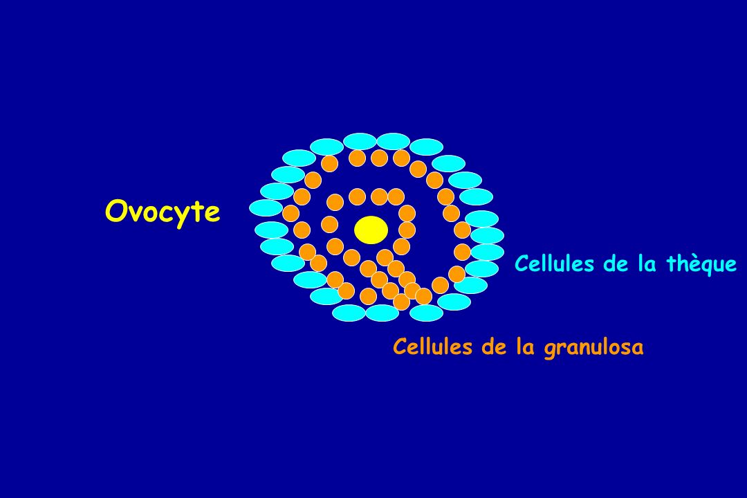 Ovocyte Cellules de la thèque Cellules de la granulosa