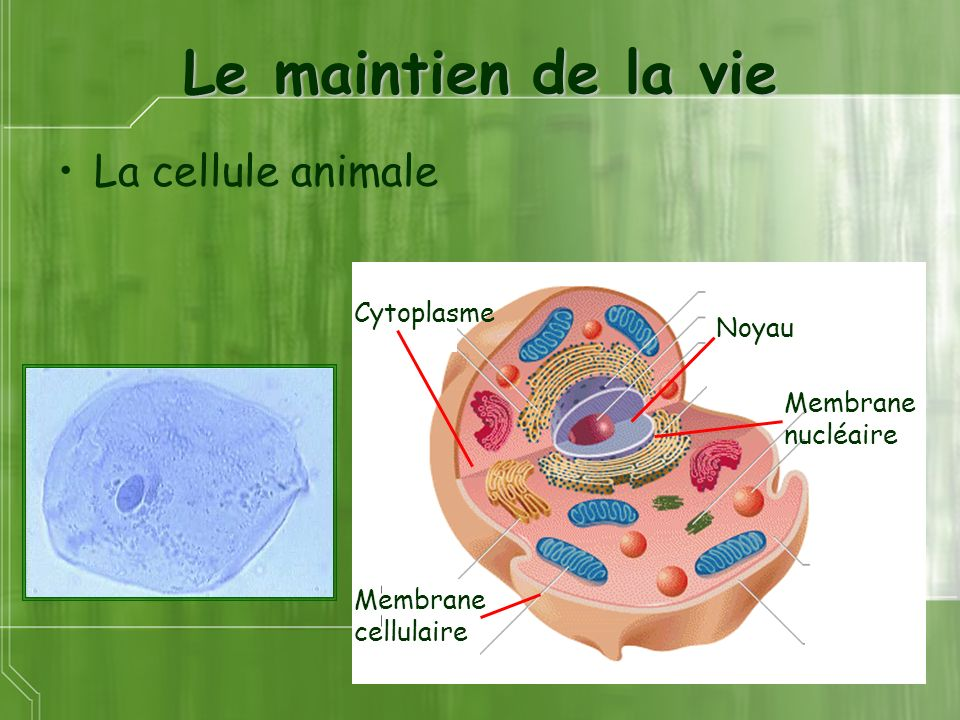 Le maintien de la vie La cellule animale Cytoplasme Noyau