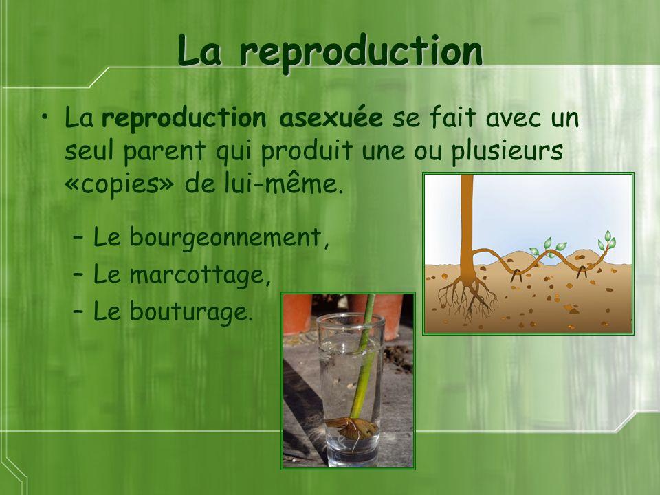 La reproduction La reproduction asexuée se fait avec un seul parent qui produit une ou plusieurs «copies» de lui-même.