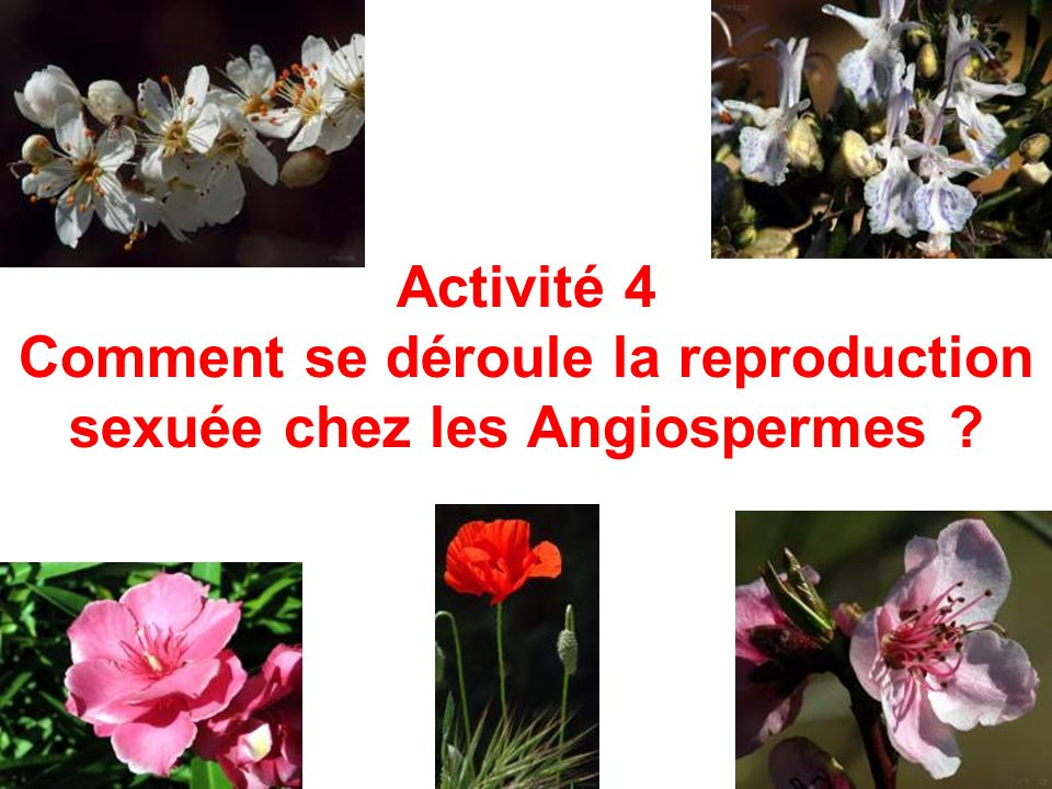 Activité 4 Comment se déroule la reproduction sexuée chez les Angiospermes