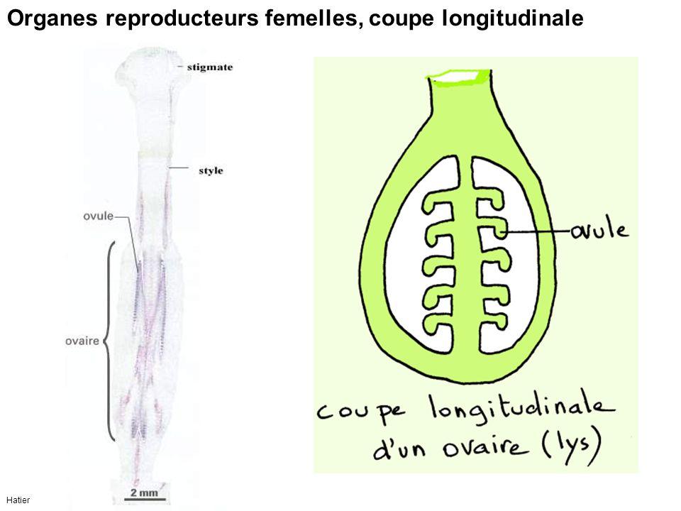 Organes reproducteurs femelles, coupe longitudinale