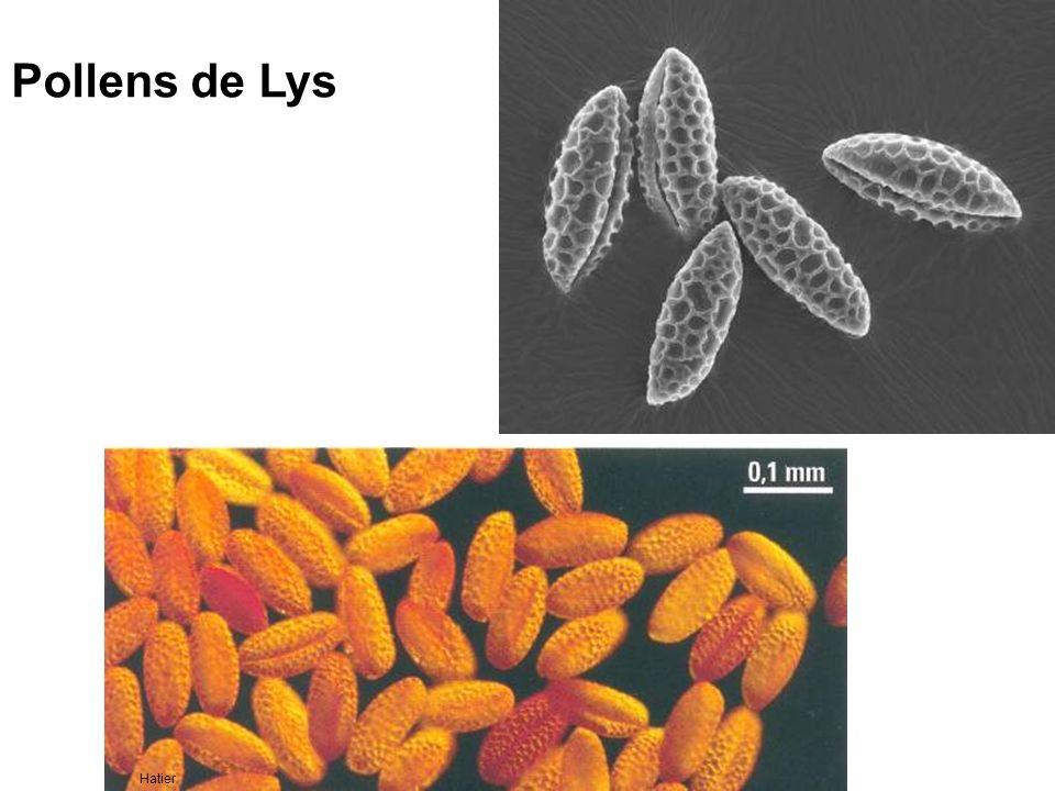Pollens de Lys Hatier