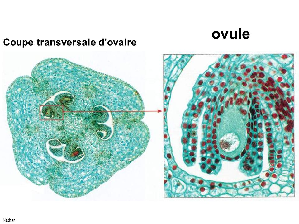ovule Coupe transversale d'ovaire Nathan