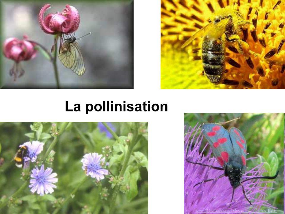 La pollinisation www.ilu.be/couleurdune/Insectes_et_petites_betes