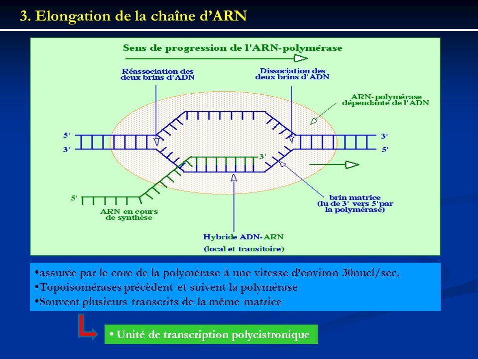 3. Elongation de la chaîne d'ARN