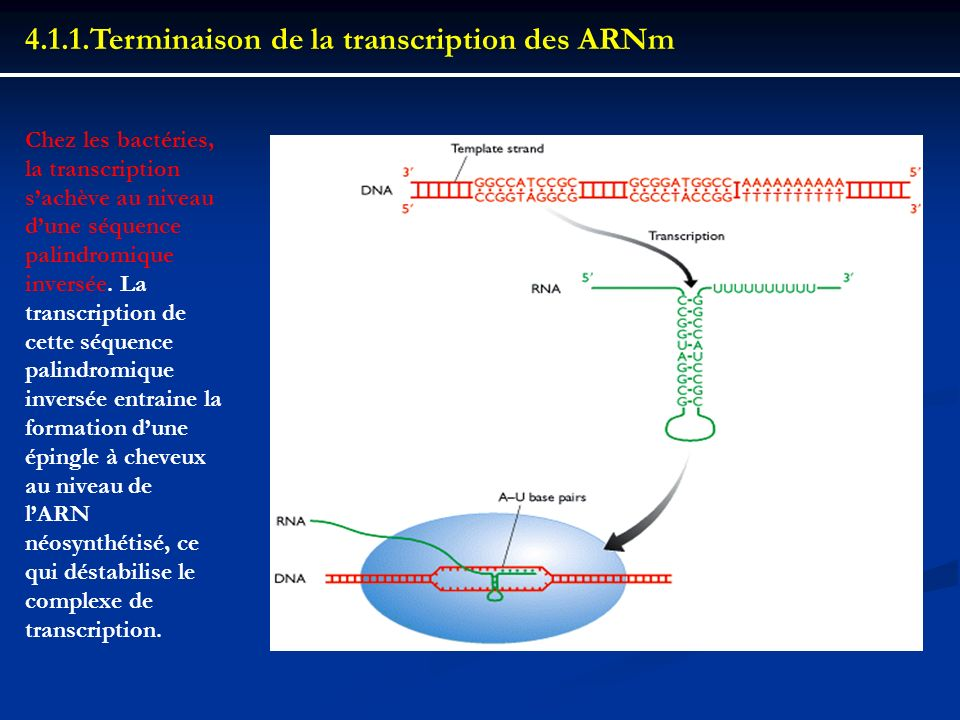 4.1.1.Terminaison de la transcription des ARNm