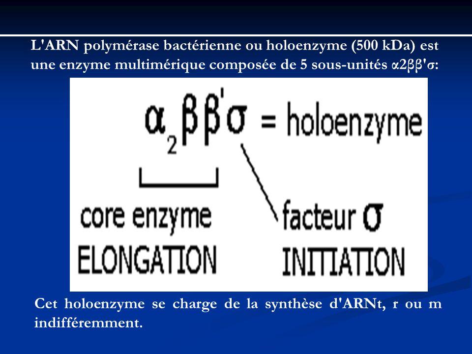 L ARN polymérase bactérienne ou holoenzyme (500 kDa) est une enzyme multimérique composée de 5 sous-unités α2ββ σ: