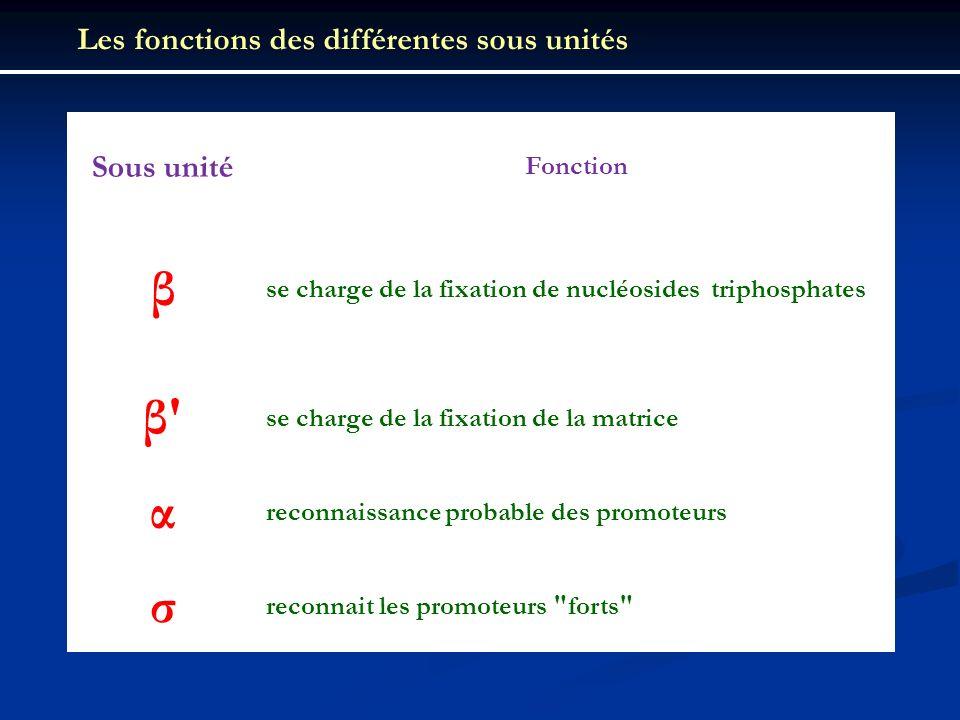 β β α σ Les fonctions des différentes sous unités Sous unité Fonction