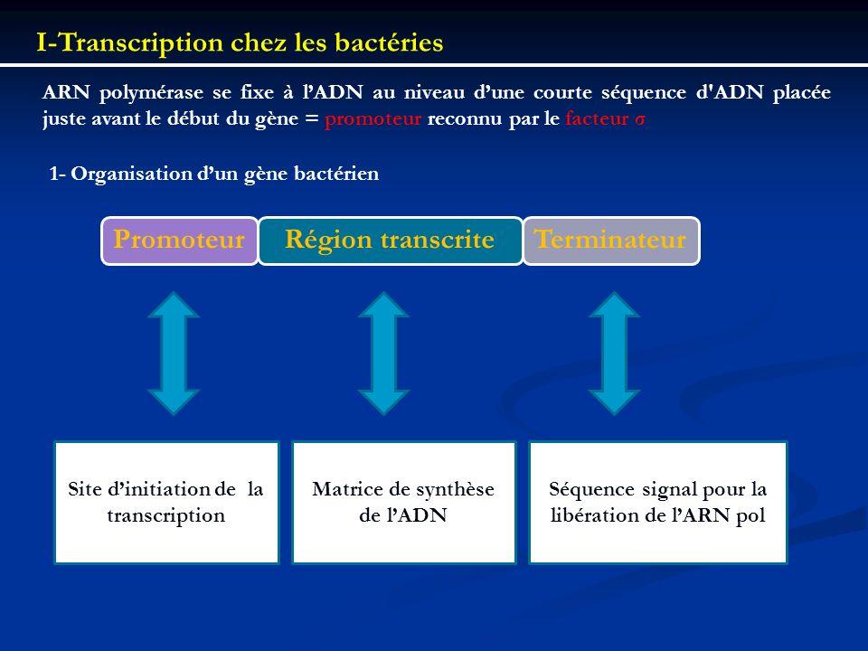 I-Transcription chez les bactéries