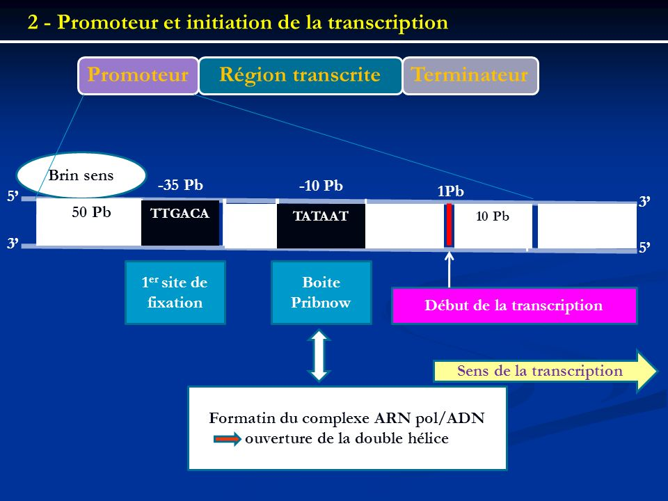 2 - Promoteur et initiation de la transcription Promoteur