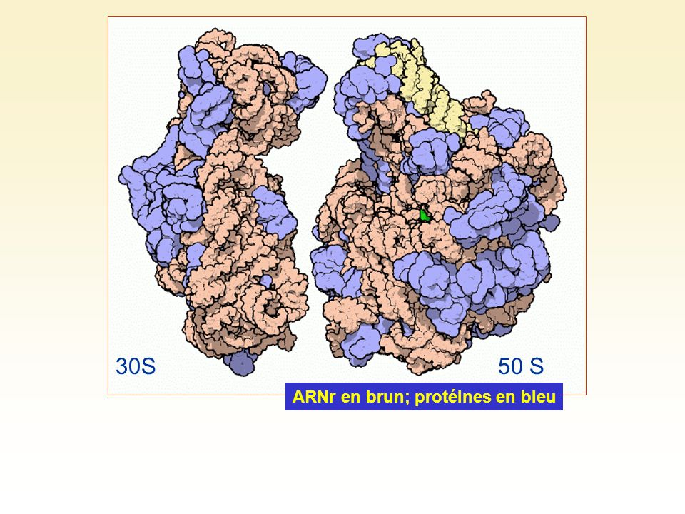 30S 50 S ARNr en brun; protéines en bleu