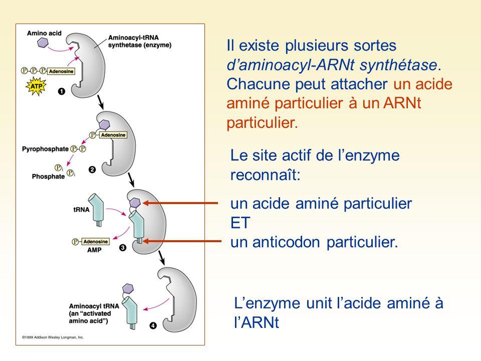 Il existe plusieurs sortes d'aminoacyl-ARNt synthétase