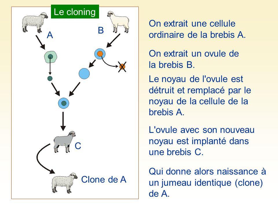 Le cloning On extrait une cellule ordinaire de la brebis A. B. A. On extrait un ovule de la brebis B.