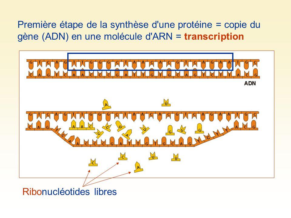 Première étape de la synthèse d une protéine = copie du gène (ADN) en une molécule d ARN = transcription