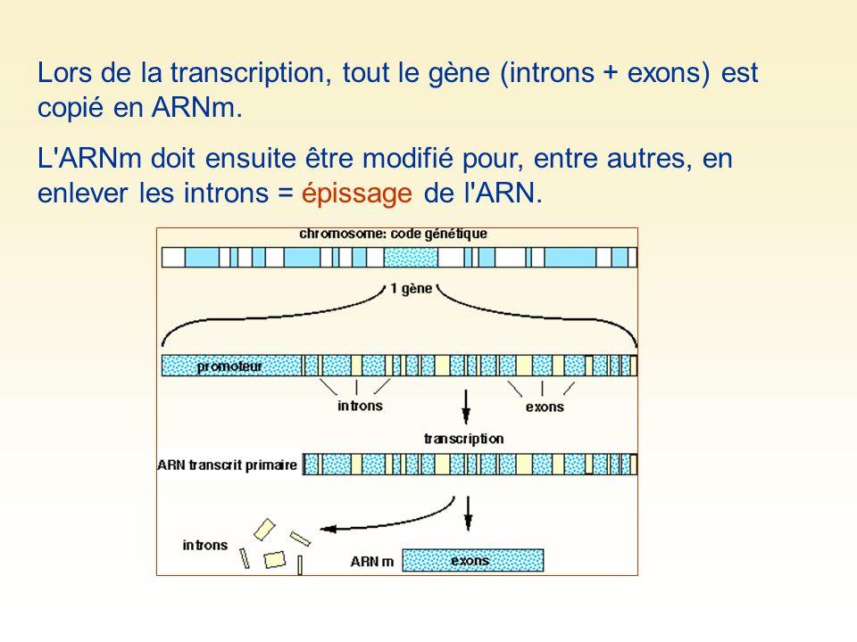Lors de la transcription, tout le gène (introns + exons) est copié en ARNm.
