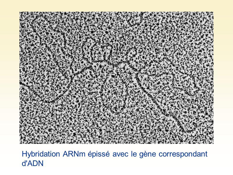 Hybridation ARNm épissé avec le gène correspondant d ADN