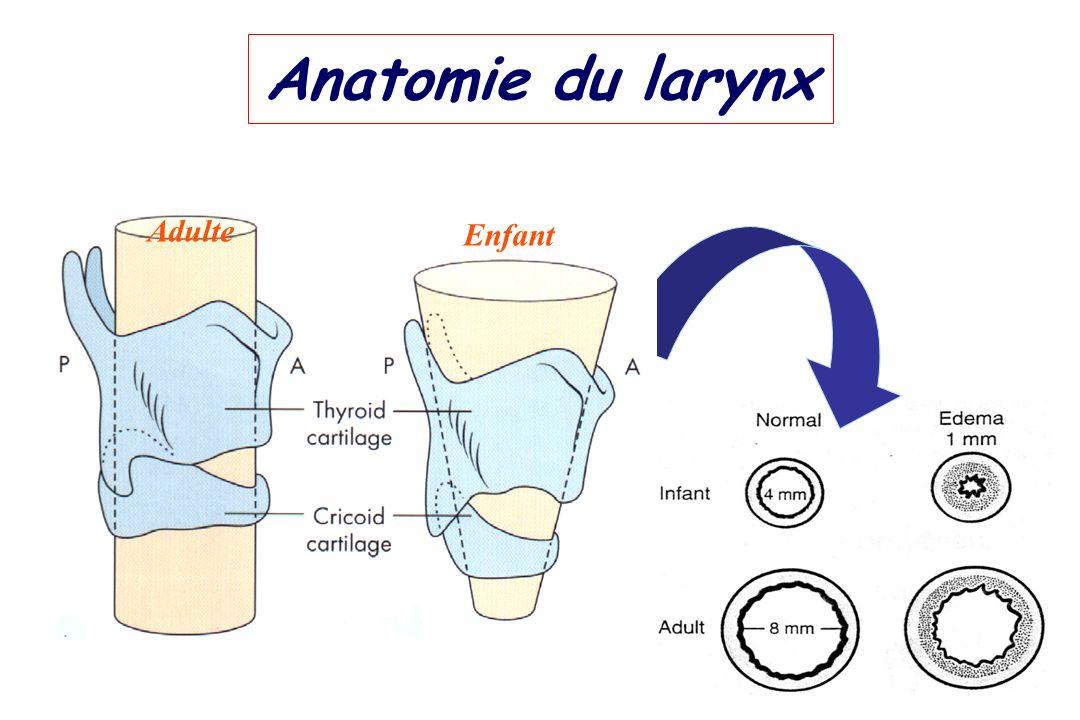 Anatomie du larynx Enfant Adulte