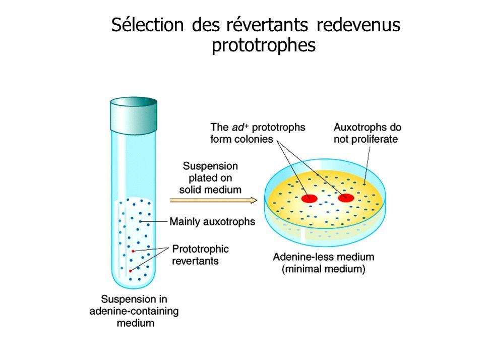Sélection des révertants redevenus prototrophes