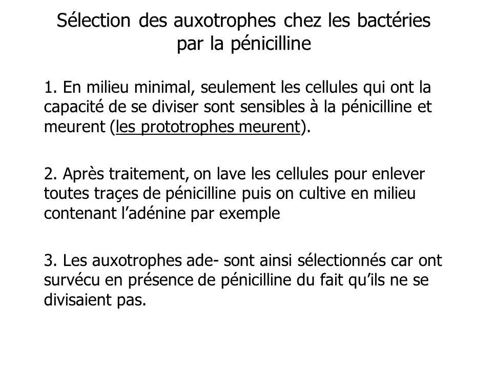 Sélection des auxotrophes chez les bactéries par la pénicilline