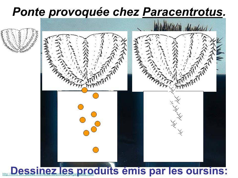 Ponte provoquée chez Paracentrotus.