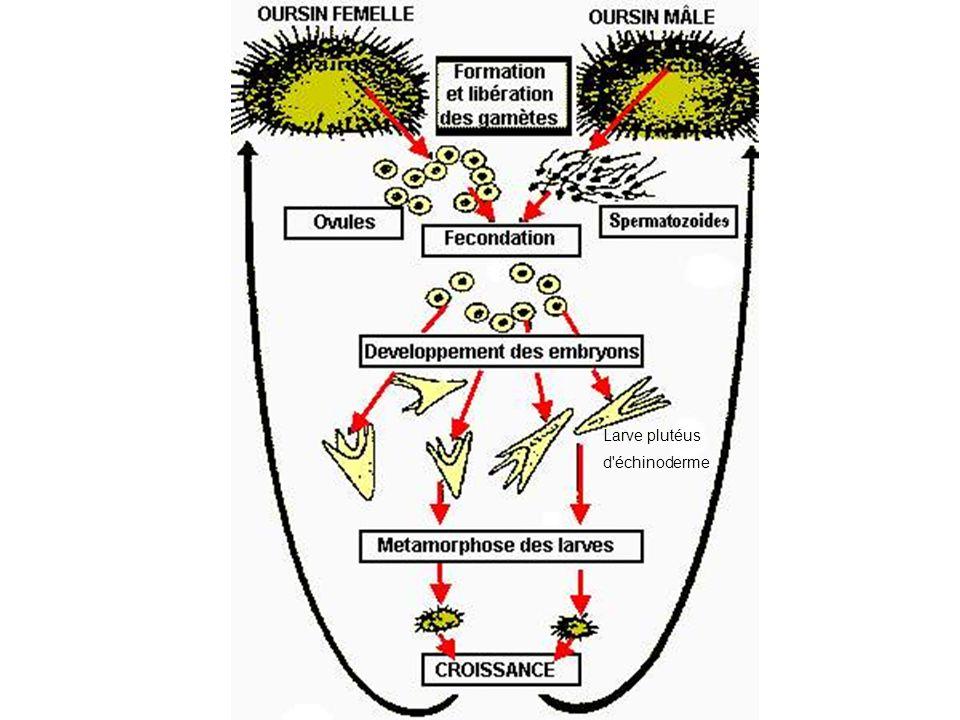 Larve plutéus d échinoderme