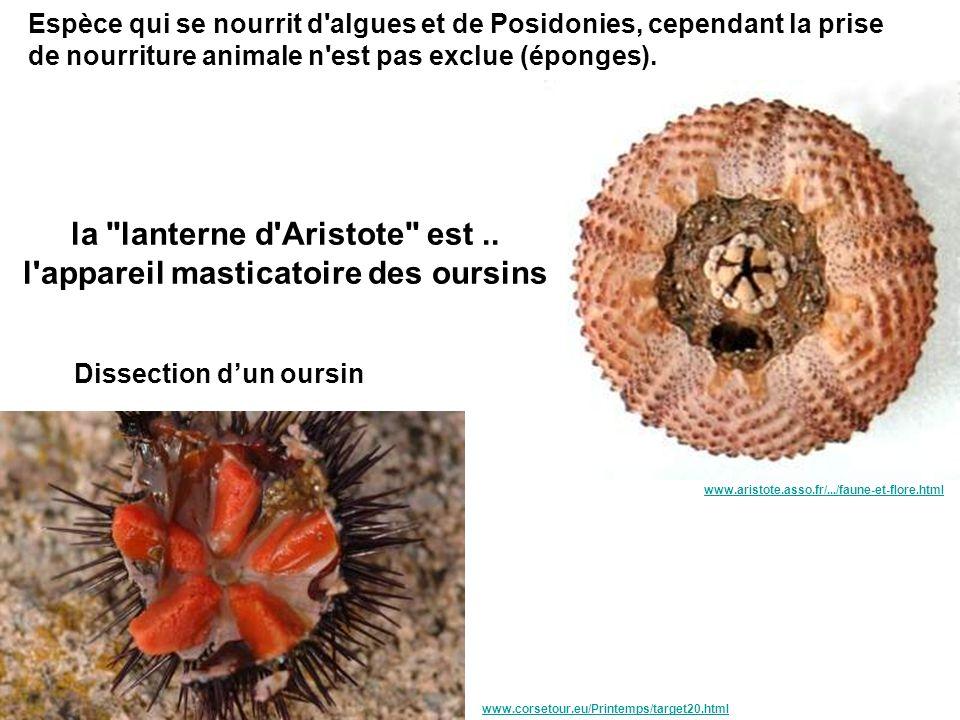 la lanterne d Aristote est .. l appareil masticatoire des oursins