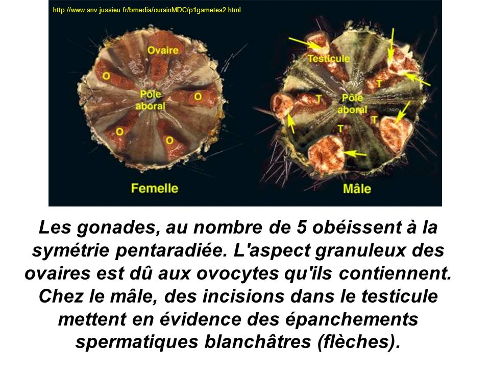 http://www.snv.jussieu.fr/bmedia/oursinMDC/p1gametes2.html