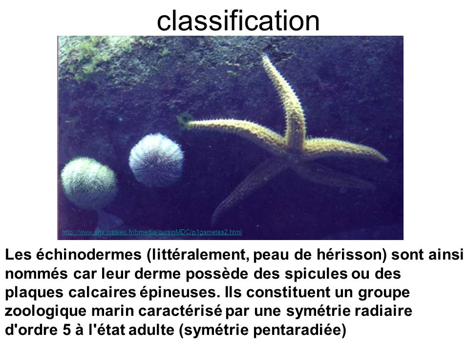classification http://www.snv.jussieu.fr/bmedia/oursinMDC/p1gametes2.html.