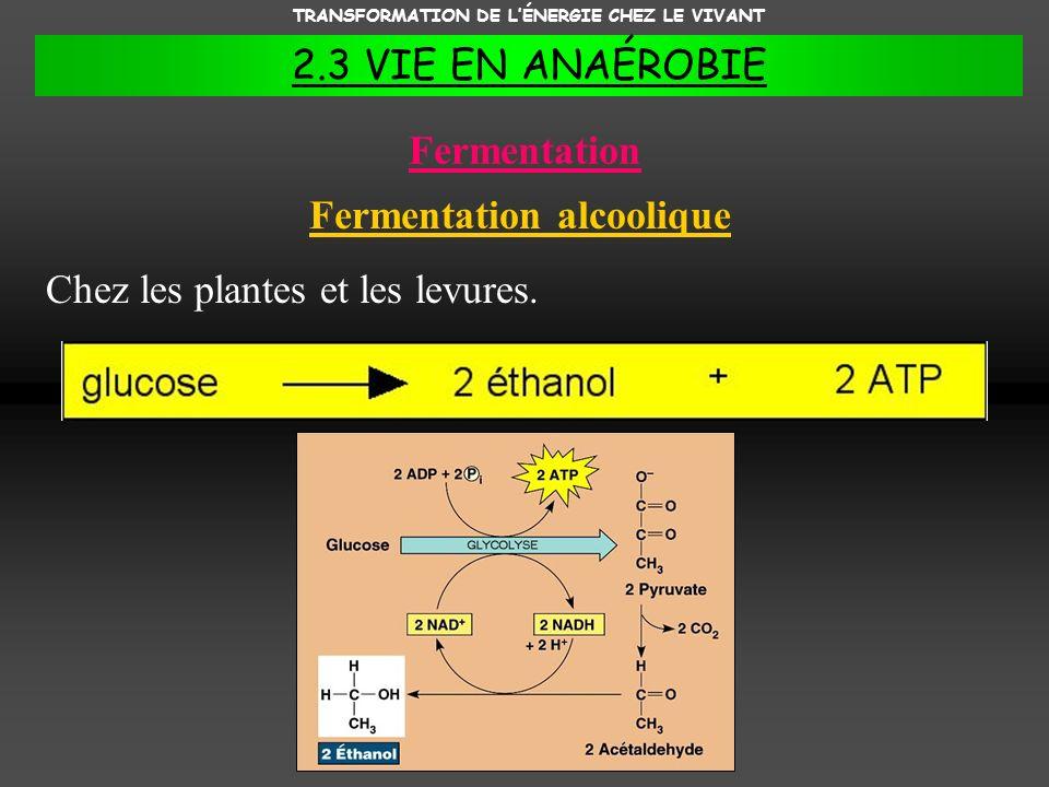 TRANSFORMATION DE L'ÉNERGIE CHEZ LE VIVANT Fermentation alcoolique