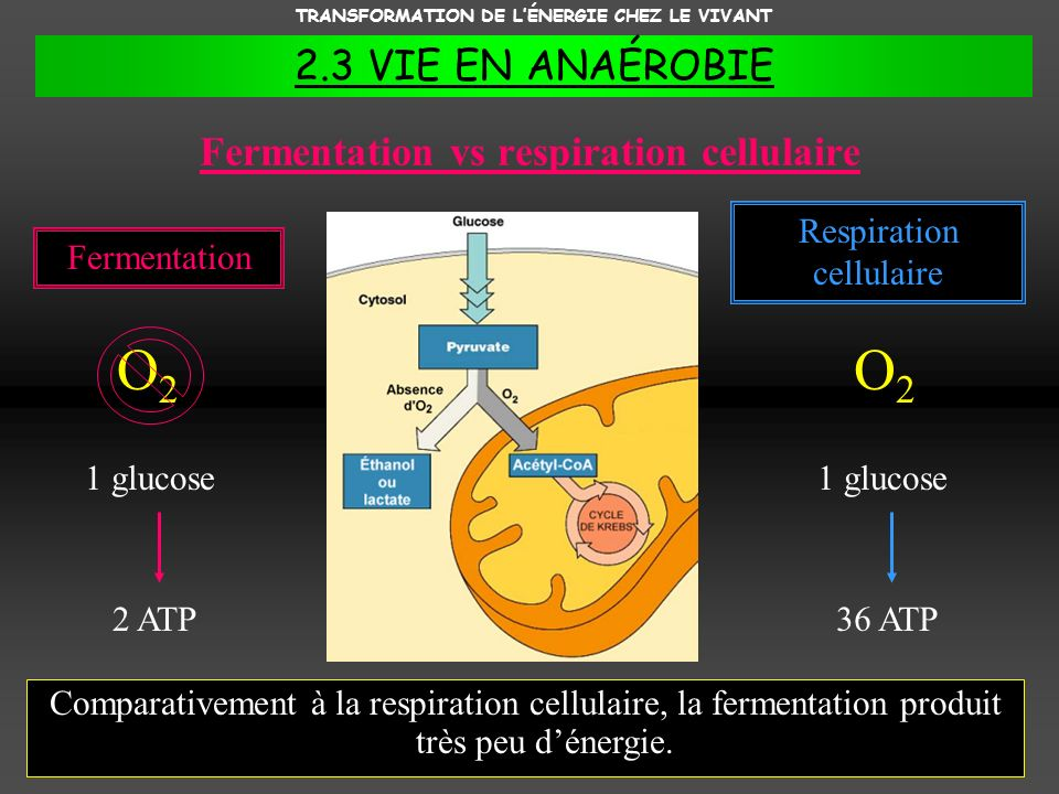 Fermentation vs respiration cellulaire