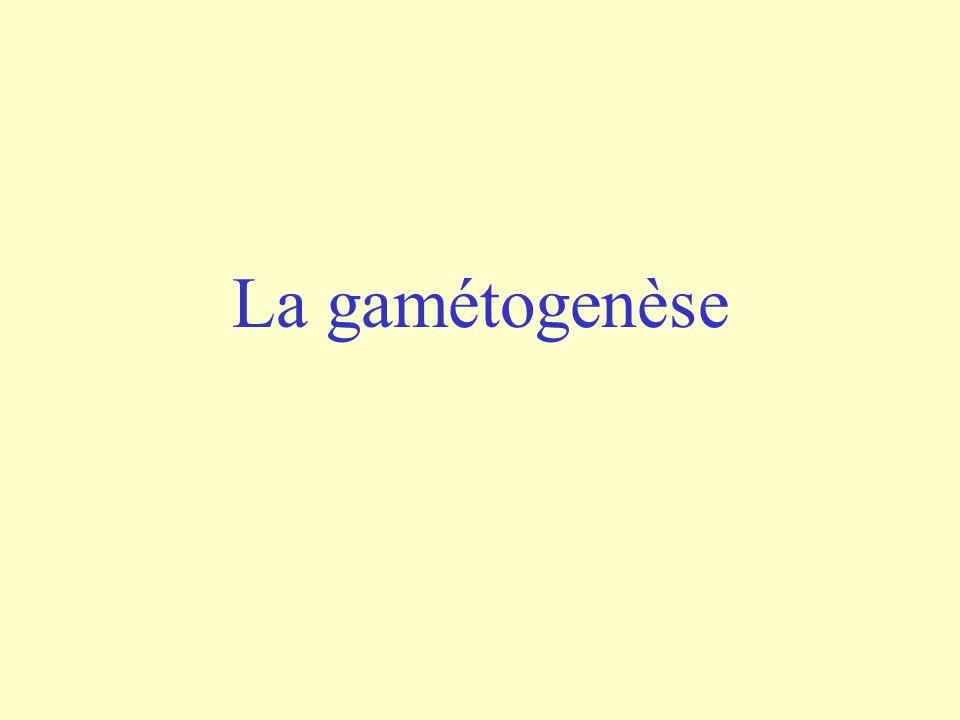 La gamétogenèse
