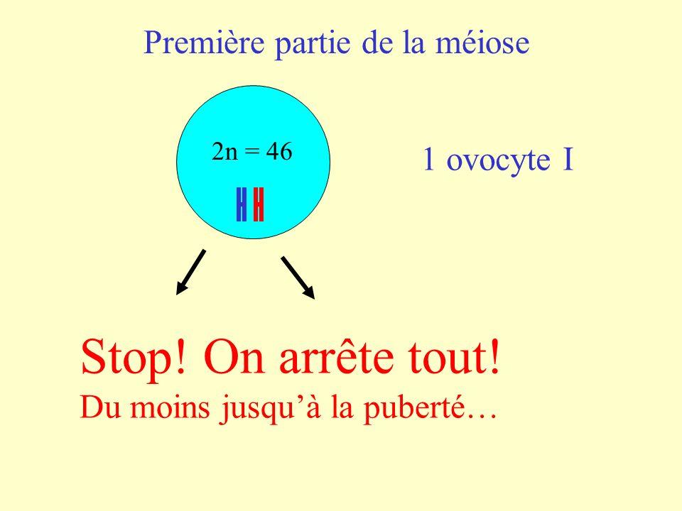Stop! On arrête tout! Première partie de la méiose 1 ovocyte I