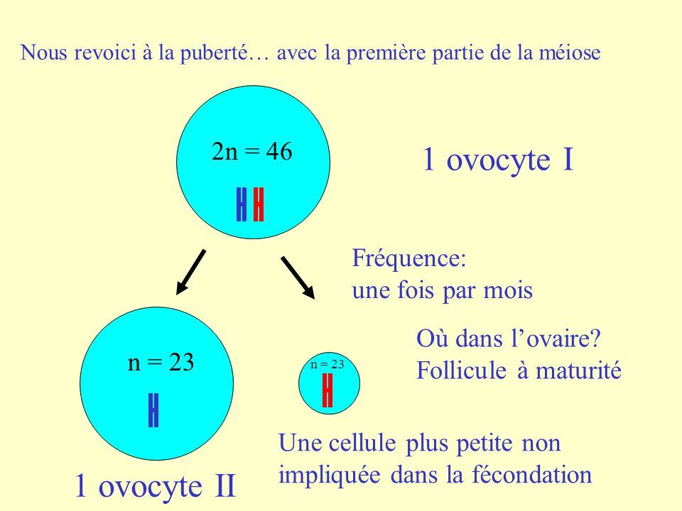 1 ovocyte I 1 ovocyte II 2n = 46 Fréquence: une fois par mois