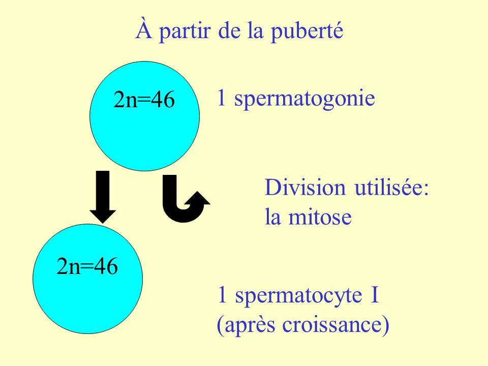 À partir de la puberté 2n=46. 1 spermatogonie. Division utilisée: la mitose. 2n=46. 1 spermatocyte I.