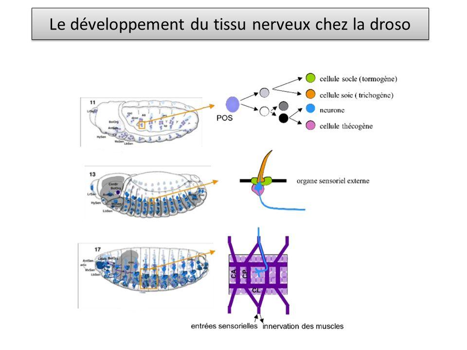 Le développement du tissu nerveux chez la droso