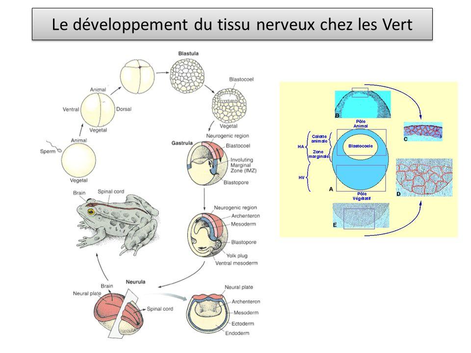 Le développement du tissu nerveux chez les Vert