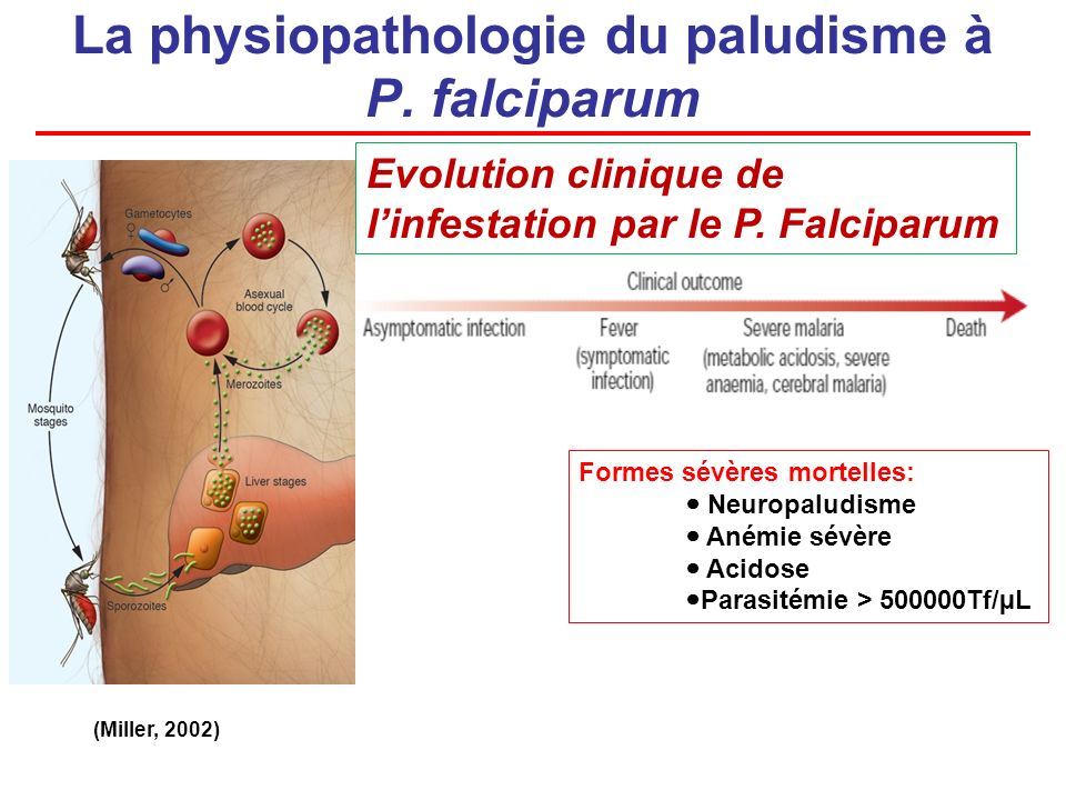 La physiopathologie du paludisme à P. falciparum