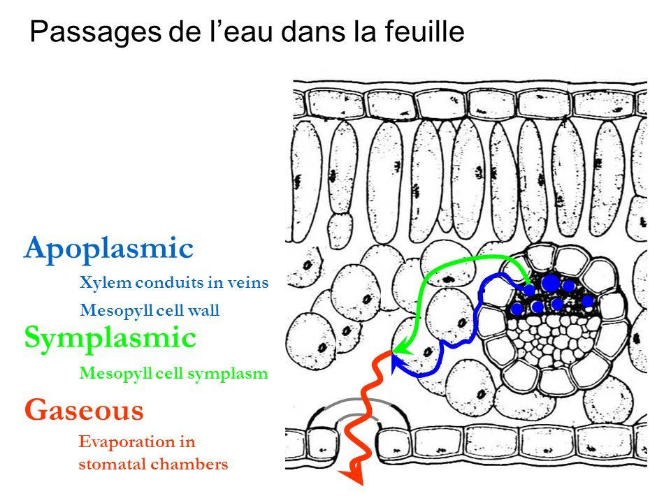 Apoplasmic Symplasmic Gaseous Passages de l'eau dans la feuille