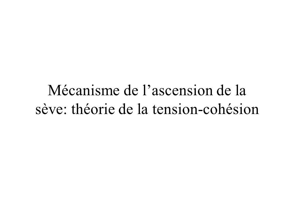 Mécanisme de l'ascension de la sève: théorie de la tension-cohésion