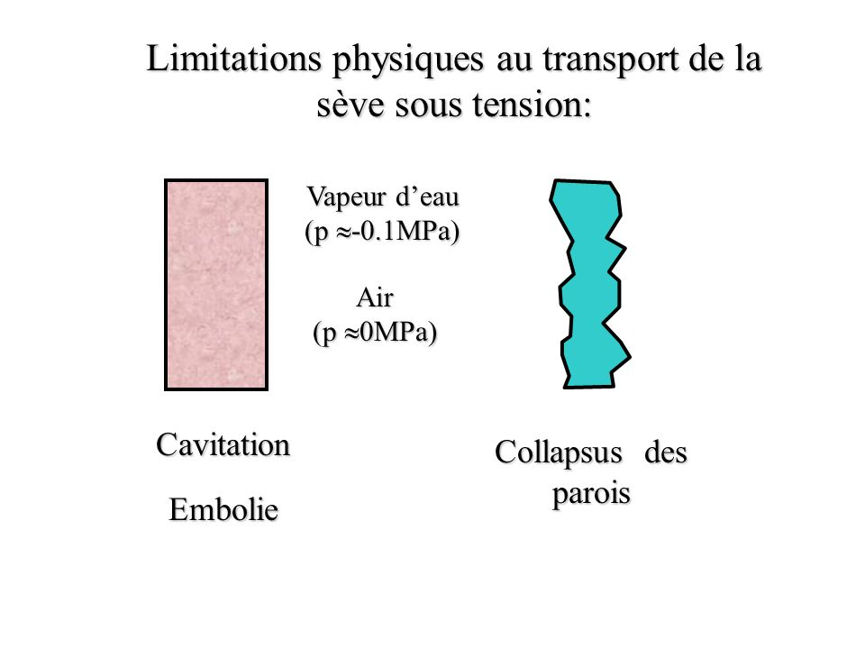 Limitations physiques au transport de la sève sous tension: